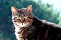 Картинка кот, котяра, кошак, взгляд