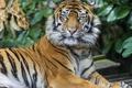 Картинка взгляд, тигр, хищник