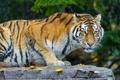 Картинка листья, камень, амурский тигр, снег, хищник, кошка