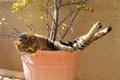 Картинка кошка, кот, отдых, вазон