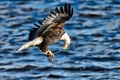 Картинка полет, крылья, рыба, хищник, добыча, белоголовый орлан
