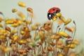 Картинка макро, божья коровка, grass, macro, травинки, ladybug