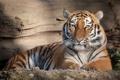 Картинка кошка, тигр, отдых, амурский