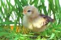 Картинка трава, птица, цыплёнок