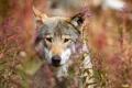 Картинка животные, лето, морда, природа, волк, портрет, растения