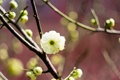 Картинка весна, слива, цветение, дерево, размытость, цветок, белый