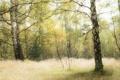 Картинка березы, лес, осень, трава