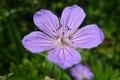 Картинка лето, сиреневый, на отдыхе, горный цветок