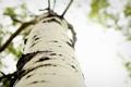 Картинка береза, кора, дерево