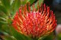 Картинка цветок, лепестки, экзотика, протея