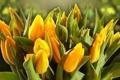Картинка капли, бутоны, роса, желтые, боке, листья, тюльпаны