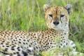 Картинка гепард, морда, хищник, взгляд