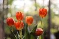 Картинка цветы, лепестки, тюльпаны, боке