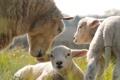 Картинка трава, овечки, детеныши, овца