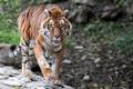 Картинка взгляд, тигр, хищник, дикая кошка