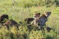 Картинка гепард, отдых, хищник, семья, пара