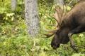 Картинка природа, лес, Meandering Moose