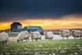 Картинка закат, природа, овцы