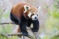 Картинка ветка, красная панда, firefox, сосна, ©Tambako The Jaguar