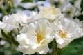 Картинка макро, белые розы, боке