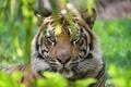 Картинка морда, тигр, хищник, дикая кошка