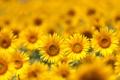 Картинка поле, подсолнухи, цветы, sunflowers, field flowers