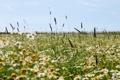 Картинка поле, лето, трава, цветы, рамашки