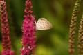 Картинка природа, бабочка, полевые, розовые, цветы