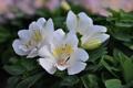 Картинка цветы, куст, цветение, flowers, Bush, bloom, Альстромерия
