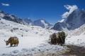 Картинка животные, солнце, снег, горы, быки, Гималаи