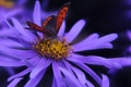Картинка цветок, сиреневый, фон, бабочка