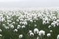 Картинка туман, поляна, лук, пушистые, белые, цвеки
