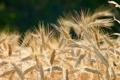 Картинка wheat, grains, Brown, planting