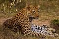 Картинка отдых, тень, хищник, леопард