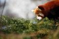 Картинка Красная панда, смотрит, зелень, firefox