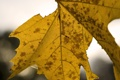 Картинка осень, макро, лист, клен