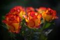 Картинка розы, размытость, бутоны