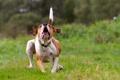 Картинка поле, фон, собака