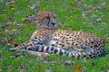 Картинка отдых, гепард, дикая кошка, боке