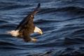Картинка волны, вода, полет, река, птица, рыбалка, крылья