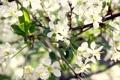 Картинка вишня, весна, цветки