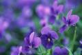 Картинка макро, цветы, лепестки, фиолетовые, луто