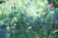 Картинка бутоны, поле, маки, розовые, семена