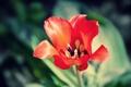 Картинка цветок, макро, красный, яркий, тюльпан, лепестки, алый