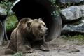 Картинка морда, отдых, медведь, лежит, зоопарк, бурый
