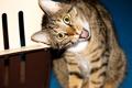 Картинка кот, взгляд, кошак, гримаса, котяра