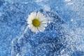 Картинка лед, холодно, ромашка