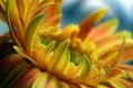 Картинка цветок, макро, оранжевый, гербера