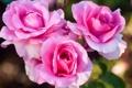 Картинка бутоны, розы, лепестки, трио