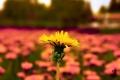 Картинка Природа, Pyatkov_Denis, одуванчик, цветы
